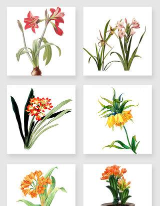 手绘君子兰鲜花设计素材