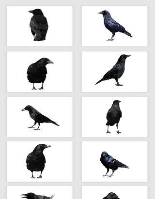 高清免抠乌鸦小鸟素材