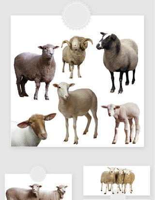高清免抠绵羊png素材