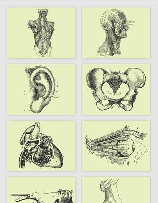 人体肌肉结构眼球内脏结构素描手绘矢量元素