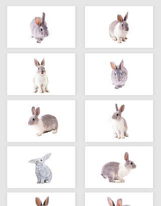 高清免抠兔子png素材