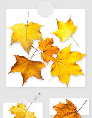 高清黄色枫叶落叶png素材