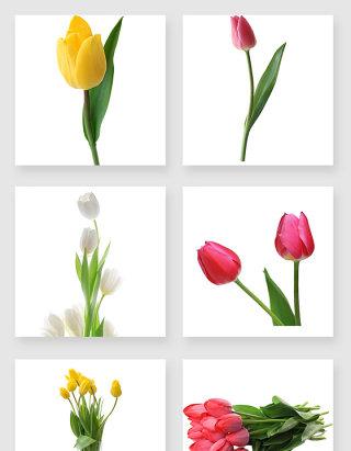 郁金香花卉设计素材