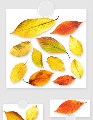 秋冬季节黄色落叶树叶高清png素材