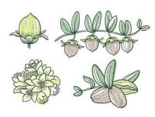 荷荷巴植物手绘图