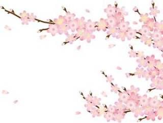 樱花花瓣和树枝
