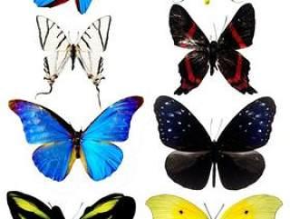漂亮的蝴蝶2png图片