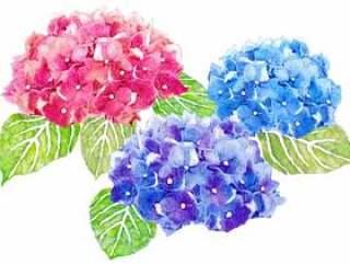 绣球花水彩图片壁纸