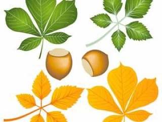 七叶树叶子和坚果